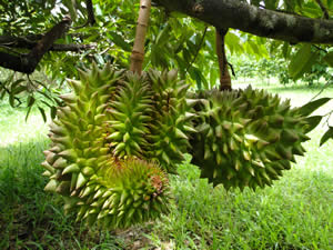 durians-tree